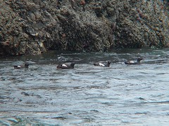 rafting guillemots