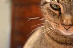 You're Not Serious. (KellyZanotti) Tags: eye cat nose nikon focus tan holly whiskers 365 dslr 365project nikond3100