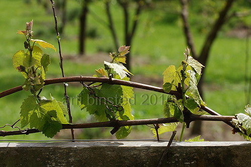 grapes in our orchard