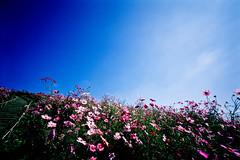under the open sky (moaan) Tags: life leica sky flower flora voigtlander hill bluesky super f45 kobe utata flowering 15mm cosmos leicam7 2010 m7 fujivelvia100 rvp100 wideheliar inlife underthebluesky voigtlanderheliar15mmf45 feildofflowers heavenshill gettyimagesjapanq1 gettyimagesjapanq2