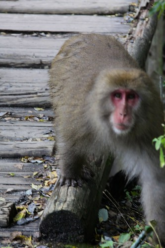 Snow Monkey in Kamikochi