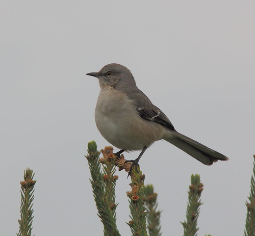 Mockingbird on Pine Tree