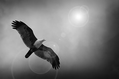 it's time i choose my destiny (insane_capture) Tags: white kite black detail bird water canon spread asia wing 7d flare sylhet bangladesh bangladeshi haor pakhi sunamganj 55250mm tanguar