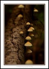101023 UBC Mushrooms 8393 (Kyle Bailey - Da Big Cheeze) Tags: nature mushroom forest canon fungi spores canon50mm supershot canonprime kylebailey rookiephoto dabigcheeze wwwrookiephotocom ubcendownmentlands