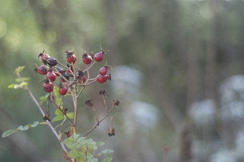 last of the rose hips