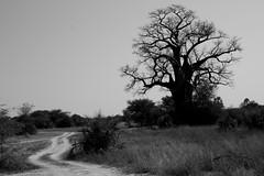 Africa - Namibia / Baobabboom (RURO photography) Tags: africa nature fun san african wildlife natur natuur tribal safari tribes afrika lonelyplanet tribe namibia anthropology tribo stam nationalgeographic africain namib ethnology discoverychannel frica namibie  stammen stmme etnia mahangu supershot ethnique namibi tribue ethnie kartpostal   tribalgroup enstantane afirka anawesomeshot  voyageursdumonde journalistchronicles   globalbackpackers discoveryphoto discoveryexpeditions rudiroels fadingcultures ethnograaf ethnografisch vanishingculture culturasperdidas indegenoustribal verdwenenculturen inspiredelite lafric      tribus