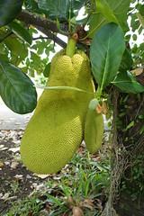 Jackfruit (bingregory) Tags: fruit jack jackfruit nangka tropicalfruit tropicaltree artocarpus