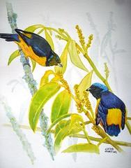 Gaturamo rei (chicoaquarela) Tags: birds paintings vogels pjaros watercolours ilustrao ilustration desenho pintura desing aquarell aquarelas aquarello diseno aguarelas ucelli avesbrasileiras passarosbrasileiros