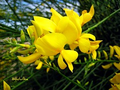 Spanish Broom (bodulka) Tags: flowers plant macro nature yellow flora priroda genista grm cvijece spartiumjunceum spanishbroom brnistra bodulka mygearandmepremium mygearandmebronze mygearandmesilver mygearandmegold uka mygearandmeplatinum mygearandmediamond
