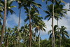 Vava'u, Kingdom of Tonga (famkefonz) Tags: palms coconut southpacific vavau kingdomoftonga kartsafari
