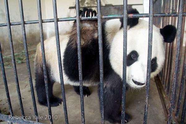 RYALE_Panda_Bears_29