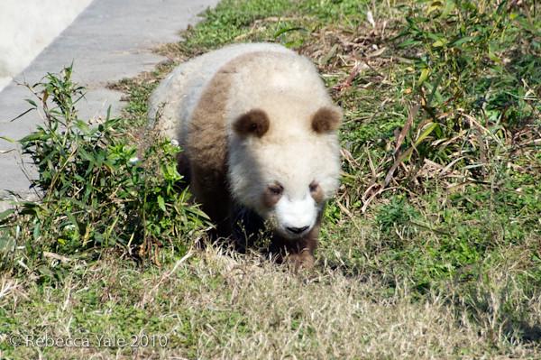 RYALE_Panda_Bears_12