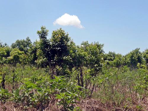 plantación de yerba mate 2