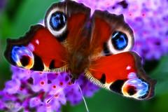 Bright Eyes (Rosemarie.s.w) Tags: art nature butterfly bright modernart 2010 budlia naturesbeauty 11macro fractalius qualitygold