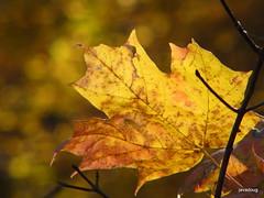 Waving yellow (javadoug) Tags: autumn red orange brown lake green nature bike bicycle yellow leaf maple ride nashville bokeh twin sugar burning desire lane arrival oaks radnor javadoug douglasbauman