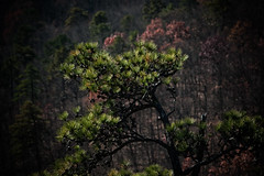 Pine Cone Tree, Hanging Rock, NC