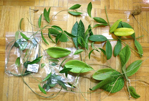 Hoya cuttings Novermber 20th 2010