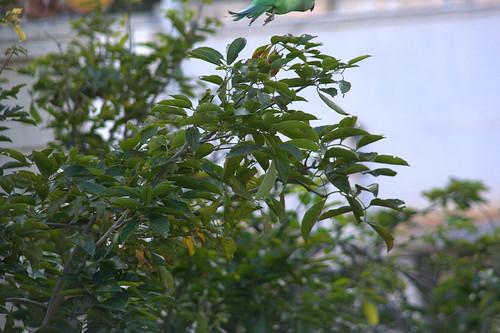 Parrot 012.CR2