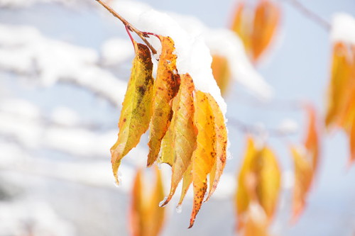 Snow Falls on Autumn Leaves as Winter Comes Early for Vancouver on Nov. 20, 2010.