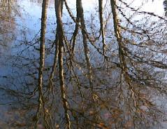 Rippled (langkawi) Tags: park november blue autumn trees sky reflection fall water pond wasser herbst rippled langkawi spiegelung tiergarten naturesfinest