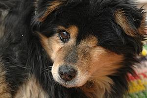 Bop exemplifies the joys of senior pet adoptions