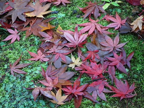 Maple leaves1