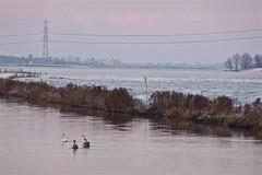 Zwanenvlucht in het Reitdiep (Kiekert) Tags: trees snow water nederland swans groningen reitdiep