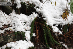 Winter blooms (CRC_Photography) Tags: winter snow fern nature fromme crcphotography