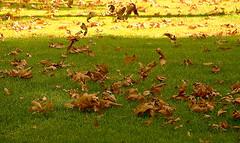 Windy (hapal) Tags: autumn green nature grass yellow leaf iran wind tehran ایران تهران سبز زرد پاییز mellatpark باد برگ چمن canoneos40d پارکملت hamidnajafi حمیدنجفی