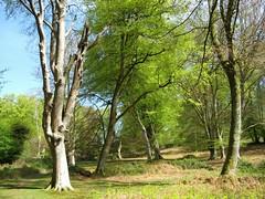 Mark Ash Wood, New Forest NP, Hampshire, England (east med wanderer) Tags: england forest woodland nationalpark spring oak hampshire beech lyndhurst markashwood greatbritishlandscape