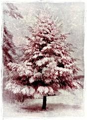 Nature's Christmas Tree (DaraDPhotography) Tags: winter usa snow tree texture nature pennsylvania infrared rockpaper treesdiestandingup artistictreasurechest daarklands florabellaarttextures