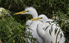 Great Egret Couple (C. P. Ewing) Tags: snowy egret bird birds couple nature natural outdoor outdoors animal animals tree trees all everything florida