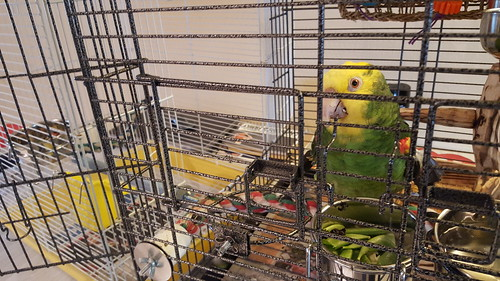 Convincing Roy to move into his travel cage so we can take him to the birdsitter