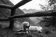 on top (simona.photo) Tags: blackandwhite bw mountain mysweetlucy dogs goldenretriever trentino nikon d7000