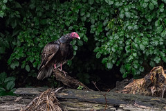 Turkey Vulture. (Estrada77) Tags: turkey vulture raptors birdsofprey nikon 200500mm foxriver jun2017 summer2017 wildlife