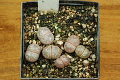 1er juillet 2017 - Lithops marmorata 'Johnson's Pink', 210 jours (Mafate79) Tags: 2017 lithopsmarmoratajohnson'spink aizoaceae aizoacées aizoacée mesemb mesembryanthemaceae mesembryanthemacées mesembryanthemacée plante semis s16097