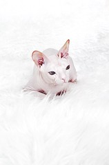 Our lovely cat (Alexandr Tikki) Tags: cat sphynx wow white great minimalism art amazing awesome best beauty creative dream explore happy idea impressive inspire kitty light life love moment nice