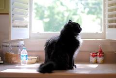 okay. now turn to your left. (rootcrop54) Tags: batman funny humorous tuxedo male longhaired furry mugshot kitchen counter polydactyl neko macska kedi 猫 kočka kissa γάτα köttur kucing gatto 고양이 kaķis katė katt katzen kot кошка mačka maček kitteh chat ネコ