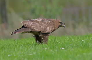 Buzzard ....Powys