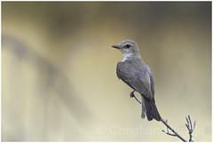 vermilion flycatcher (Christian Hunold) Tags: vermilionflycatcher songbird bird bokeh rubintyrann catalinastatepark sonorandesert arizona christianhunold