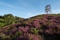 Ambersham Common, West Sussex (gillian.pullinger) Tags: landscape view hill hilly heather bellheather colour colourful nature ambershamcommon westsussex southdowns southdownsnationalpark scenery summer sky bluesky morning