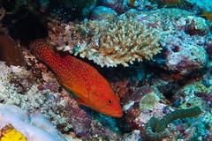 Corals' grouper (antony5112) Tags: coralsgrouper coral corals grouper sub diving scuba reef maldives underwater cerniadeicoralli cernia coralli
