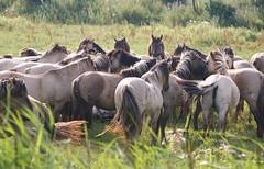 konink4 (raymondklaassen) Tags: nederland thenetherlands wildhorses flevoland konikhorses konikpaarden wildepaarden raymondklaassen