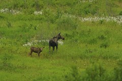 Moose and calf in our meadow