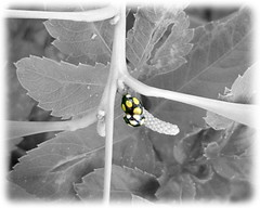 台灣巧瓢蟲交尾