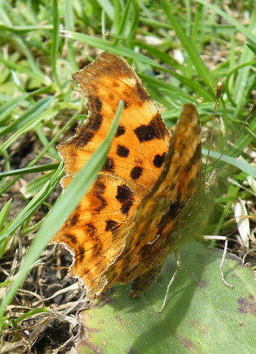 comma partially open wing