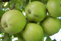 Apples outside the Villa Kathrine