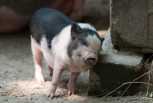 [フリー画像] 動物, 哺乳類, イノシシ科, 豚・ブタ, 201008021100