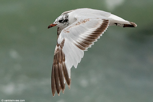 Mediterranean Gull, 2cy, W[E156]