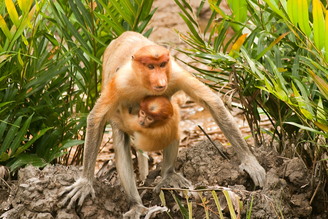 Labuk Bay Proboscis Monkey Reserve, Sabah, Malaysia
